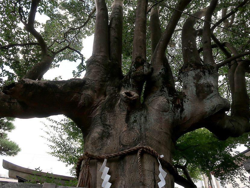 満足稲荷神社 御神木・もちの木